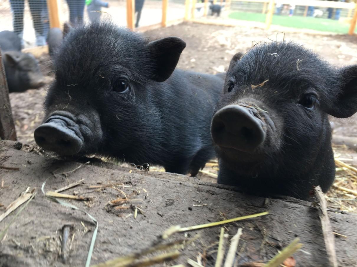 Hohe Wand Schweinchen